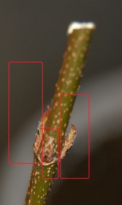 Trident Maple (1)