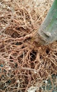 nebari roots1