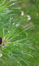 Tibolar-RS NPK 13-6-2 Garlic and wooly aphids on Scots pine